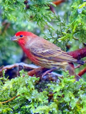 After a frost, a house finch shows off his colors in a juniper tree.