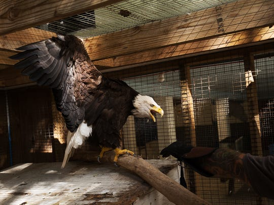 Erica the bald eagle balks while getting handled by animal handler, Jeremy Hargett.  She is one of the ambassadors for the center.  She was injured by a hunter and has a broken wing.