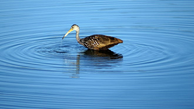 A Limpkin is one of many birds people will be looking for during the Space Coast Birding and Wildlife Festival.