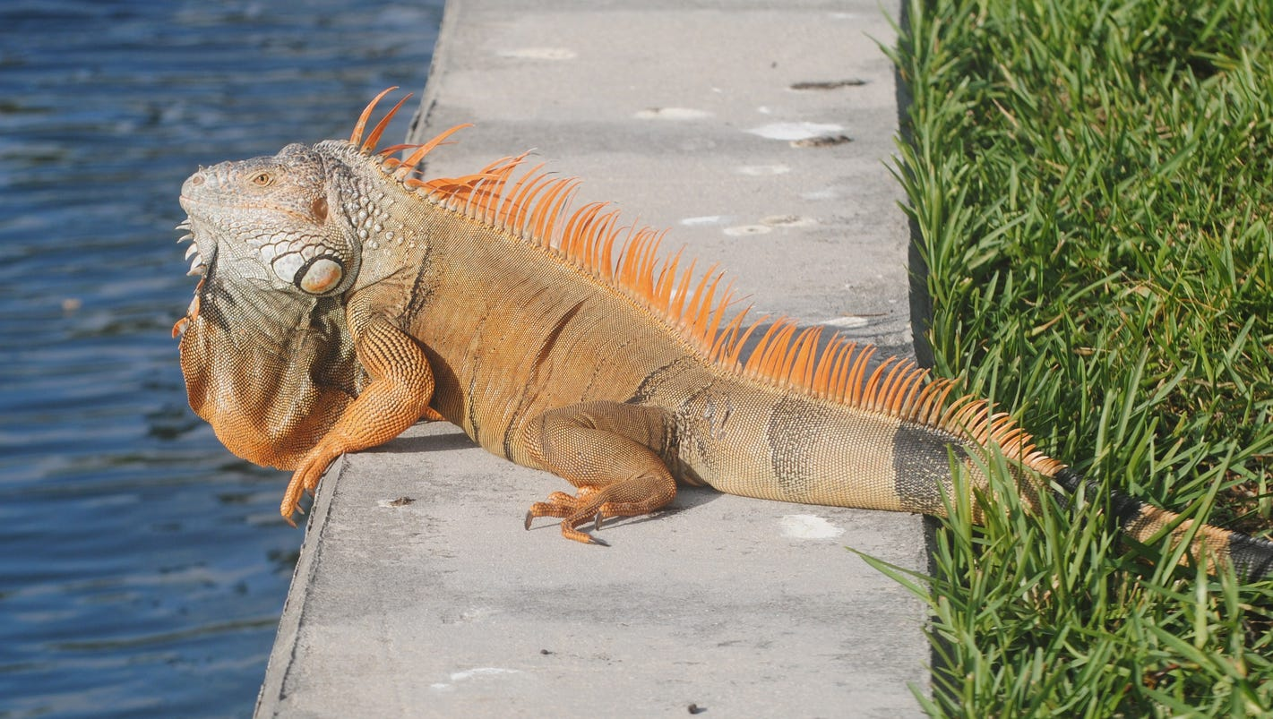 Invasive iguanas on the run from Florida Fish and Wildlife ...