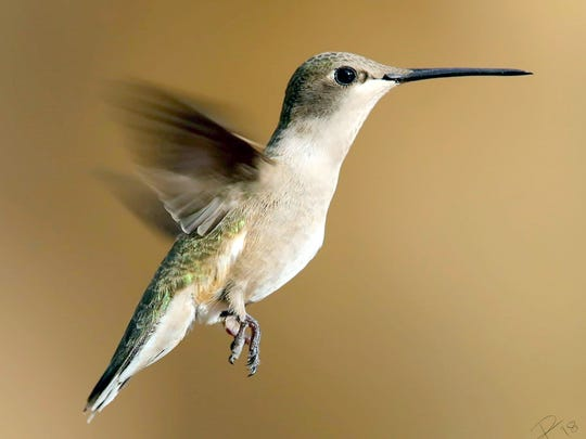 A female black-chin hummingbird relies on her tiny feet to grasp the bar at a feeding station.