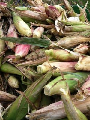 crpd_Stacks of corn_husking bee