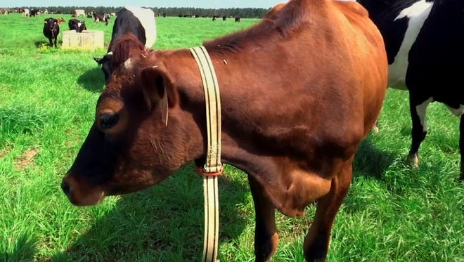 """A cow stands in a pasture on Seven Oaks Dairy in Waynesboro, Ga. On the cow's neck is a device called IDA, or """"The Intelligent Dairy Farmer's Assistant,"""" created by Connecterra. It uses a motion-sensing device attached to a cow's neck to transmit its movements to a program driven by artificial intelligence."""