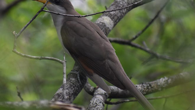 Yellow-billed cuckoos are relatively large birds and have a distinctive long, slim silhouette and a weird bird call.