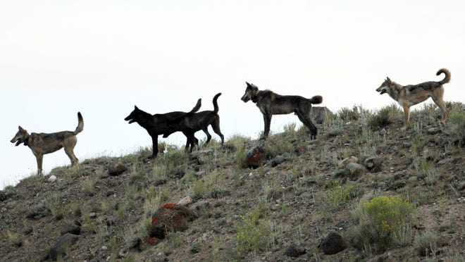 The Center for Biological Diversity believes wolves such as these in Yellowstone National Park, Wyo., someday could call Nevada home.