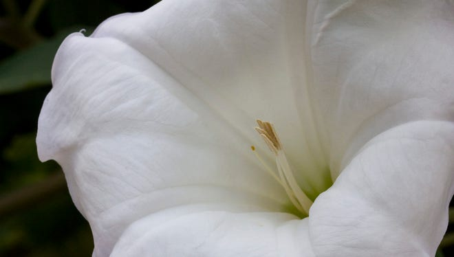 Moonflowers open at night and waft their powerful scent throughout the summer garden.