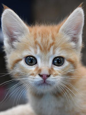 Flip is an eight-week old, orange tabby-colored, male domestic short-haired kitten. He is curious, playful and available for adoption at the Wichita Falls Animal Services Center.