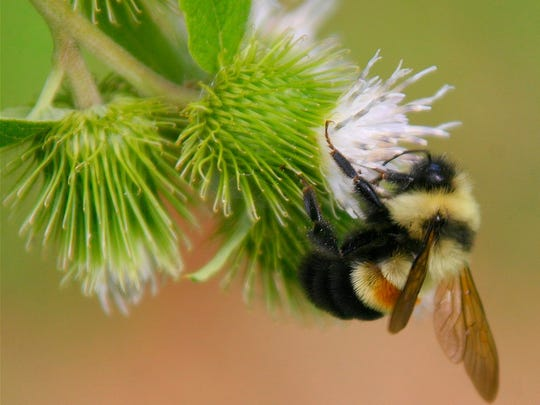 Abundance of the rusty patched bumblebee has plummeted