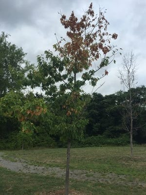A tree's leaves have turned brown from area's lack of rain.