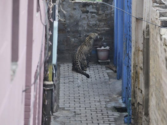 A leopard sits by a wall at a residential area in Jalandhar,