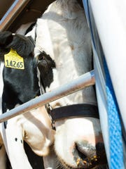 Maggie, a dairy cow, takes a close look at the camera during a demonstration held by Cody Lightfoot, Southwest Dairy Farmers Mobile Dairy Classroom instructor, on Thursday, September 29, 2016, the Southern New Mexico State Fair at the fairgrounds.