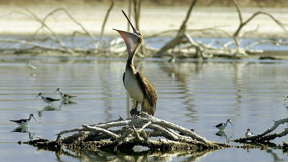 An endangered brown pelican at the northern end of