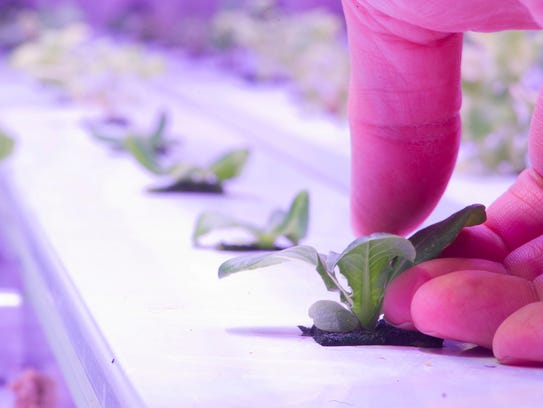 Shoots of crops are seen inside an indoor hydroponics