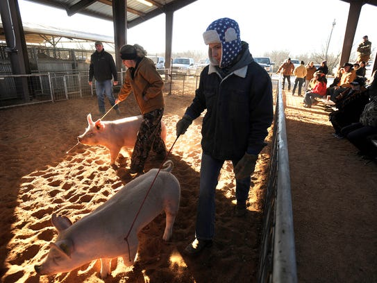 Participants parade their pigs around the arena during