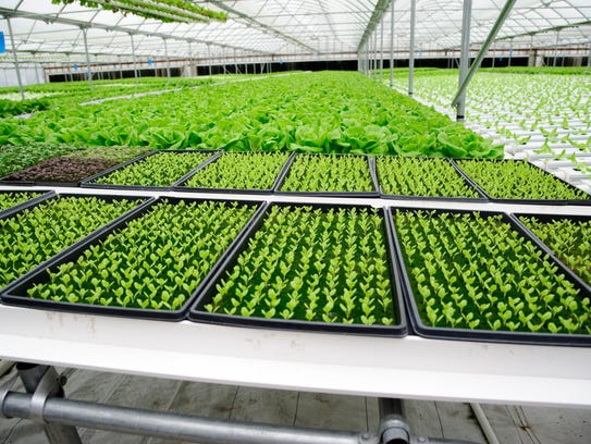 Greens at Baywater Farms are grown year-round on hydroponic