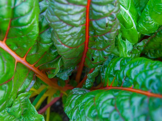 Rainbow chard grows with all its brilliance in the