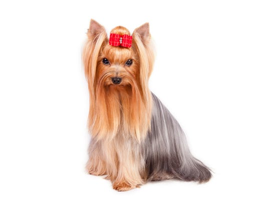 Can you get your Yorkshire Terrier to look this chic?