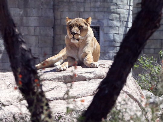 Zari, an African lion, rests in the African section