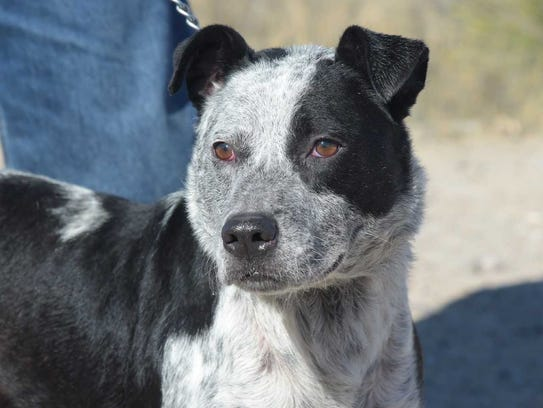 Sully - Male heeler mix, about 7 years old. Intake