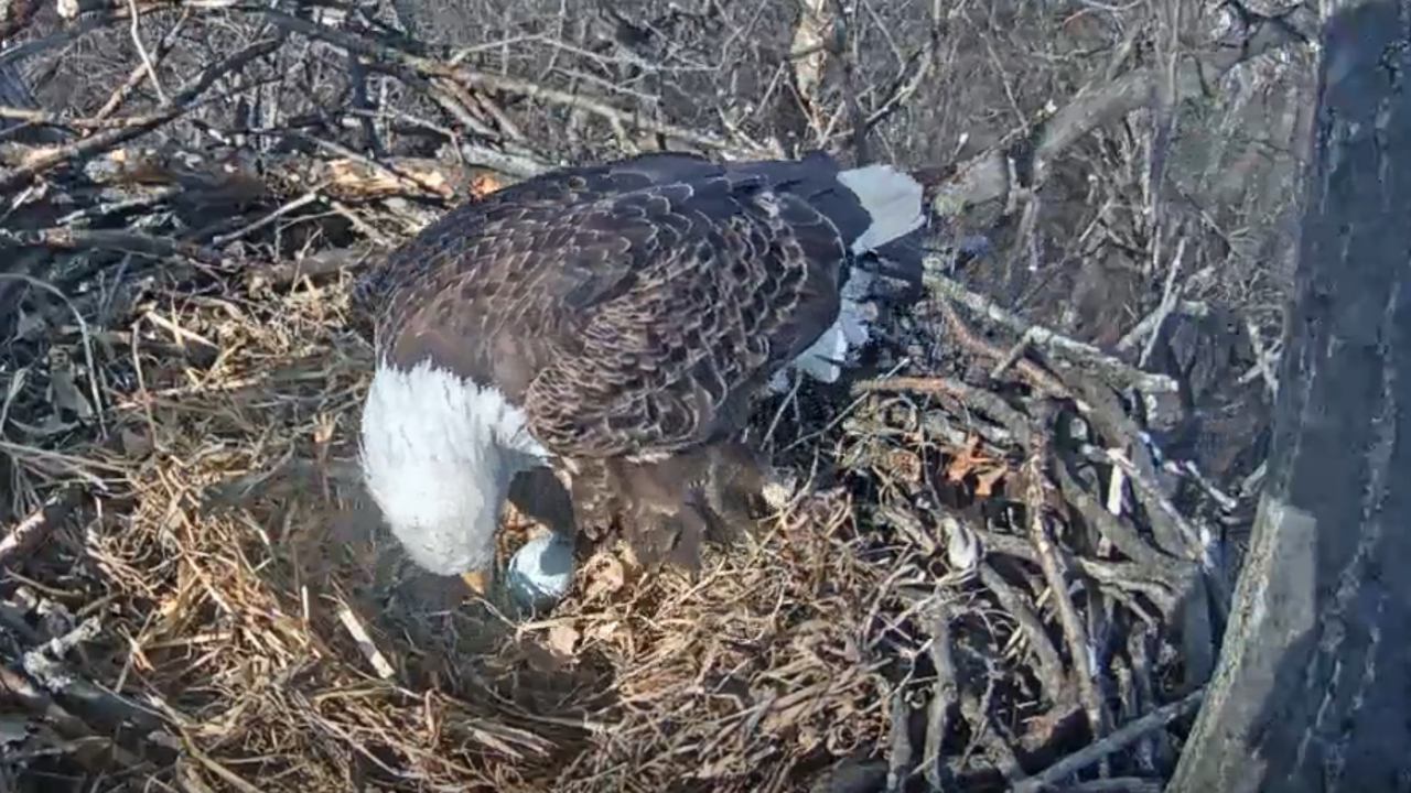 The Hanover eagle appears to have laid its first egg of the 2018 season on Feb. 20.