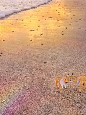 A crab forages on the beach on Hutchinson Island at sunrise. Reader-submitted photo