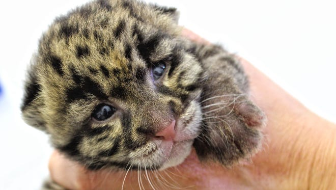 This Clouded Leopard cub was born March 4 and can be seen in the nursery window at the Tanganyika Wildlife Park in Wichita, Kansas.