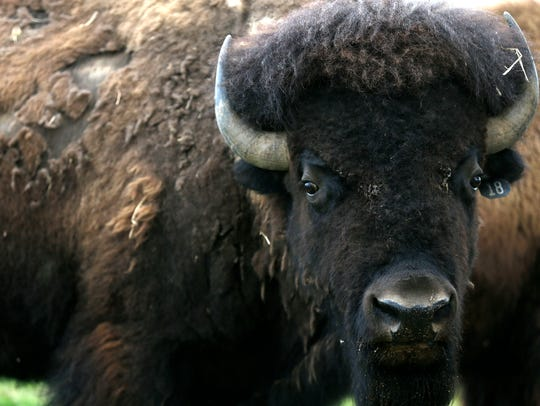 An American bison, commonly called buffalo, grazes