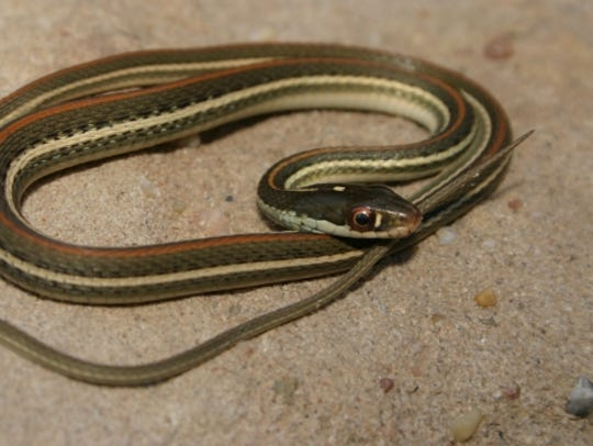 Red-stripped ribbonsnakes are almost exclusively water