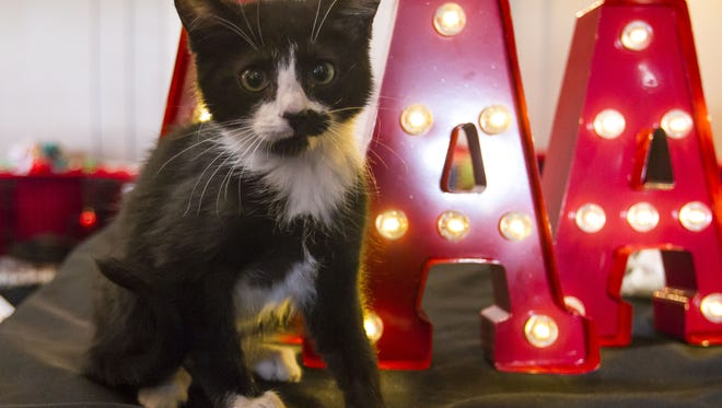 Spot, 3 months, from All About Animals Rescue is adoptable during the 23rd Annual CFA all breed cat show at the Mesa Convention Center on Saturday, Dec. 12, 2015. All About Animals Rescue has 300 cats and dogs available for adoption.