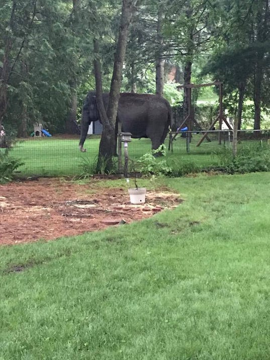 Elephant roaming in a Baraboo neighborhood after escaping Circus World