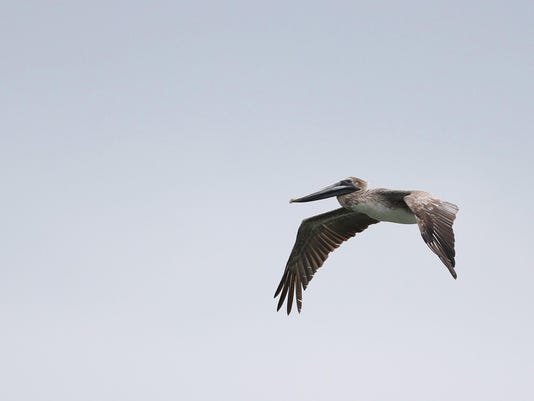 Brown_Pelican_Ithaca