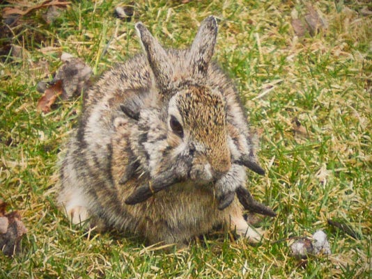 Horned Rabbit Afflicted With Virus Sighted