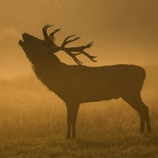 LONDON, ENGLAND - SEPTEMBER 23:  A deer is seen bugling in the morning mist in Richmond Park on September 23, 2014 in London, England. Tuesday marks the autumn equinox where day and night are of equal lengths.
