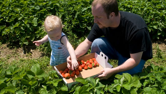 Mike Ryan and his son, Aidan, pick strawberries at Springdale Farm in Cherry Hill. Harvest some memories with your kids at a local farm.