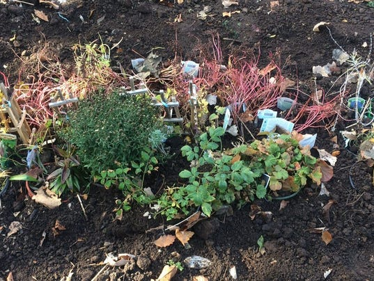 636138545583660625-11-07-2016-Overwintering-container-perennials.JPG