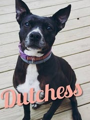 Dutchess is an adult, spayed-female pit bull terrier. She is house and crate trained and gets along great with children and most other dogs. Dutchess loves to play and cuddle and will make a wonderful companion. Find her through Companion Pet Rescue of Middle Tennessee, 615-260-8473, www.adoptapet.com/companion-pet-rescue-of-middle-tennessee/available-pets/.
