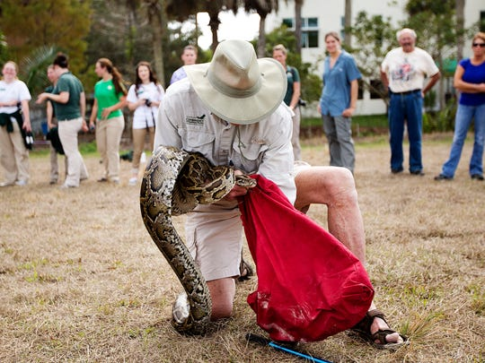Copley Smoak, a volunteer for the Conservancy of Southwest Florida, learns the proper way to subdue and catch a Burmese python during a training exercise at the Conservancy in Naples on Wednesday. The training was administered by the Florida Fish and Wildlife Conservation Commission.