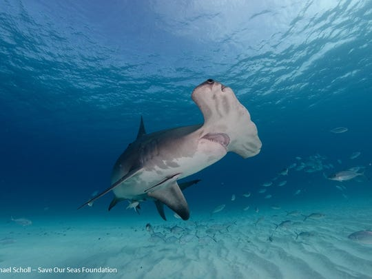 Researchers are probing shark genes for cures to cancer.