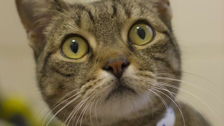 Madison Grace is a 7-year-old domestic short-haired brown tabby looking for her forever home.