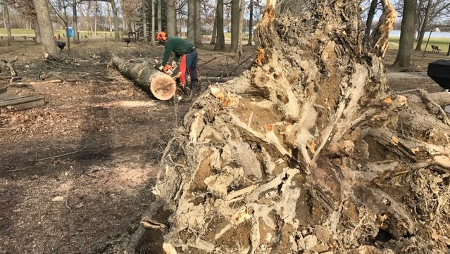 An Ingham County Parks Department staffer cuts the trunk of a large oak tree that fell during Wednesday's wind storm on Thursday, March 9, 2017. An MSU student was among two people killed when a tree fell on a car in Clare County on Wednesday afternoon.