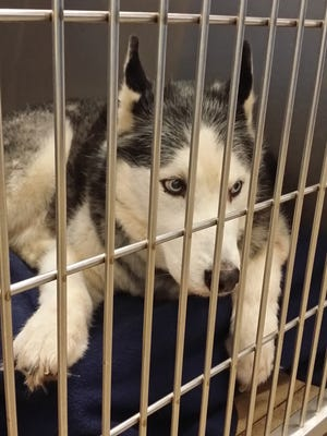 Kai the Husky was removed from West York Feline Rescue after the property was condemned on March 23. The dog is available for adoption at the York County SPCA.
