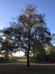 Blackgums can reach 60 feet in height, with deciduous leaves that turn a deep purple prior to leaf drop.