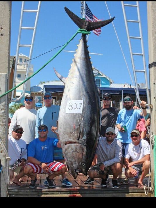 brentwood man witnesses 827 pound tuna caught in florida