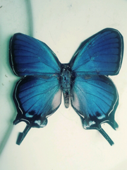 Blue morpho butterfly from Jaime Brynne Revis' diary.