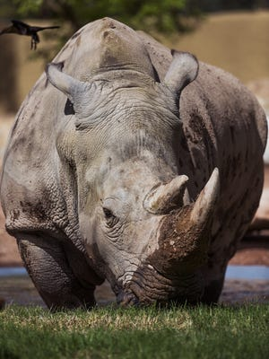 LouLou, a 20-year-old southern white rhino has come to the Phoenix Zoo from the San Diego Zoo Safari Park.  She gets adjusted her new digs on March 22, 2017.