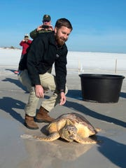 Graham Northup, curator of fish and reptiles at the Gulfarium, releases, Meeko, a Loggerhead sea turtle back into the Gulf of Mexico at Pensacola Beach Thursday morning.  Meeko was rescued off the Navarre fishing pier on Sept. 30, heavily tangled in fishing gear. The young adult sea turtle was sent to rehabilitation at the Gulfarium C.A.R.E center.
