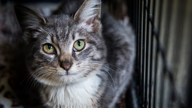 """Cats in the """"intake"""" area of the Muncie Animal Care and Services facility Wednesday. The shelter has around 40 cats up for adoption and many more being processed."""