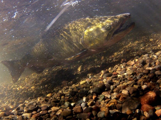 Fifty years ago, about 5 percent of the chinook salmon that left the streams returned as adults, and that meant plenty of salmon for harvest and spawning. Today, if 1 percent comes, back it's a pretty good year.