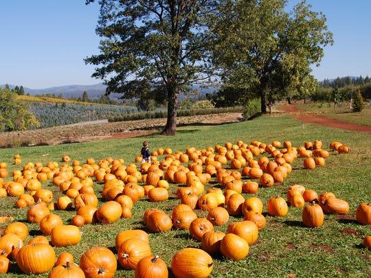 Pumpkin patch at Apple Hill, California.