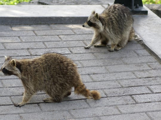 The DOH extended a rabies alert in Leon County after a raccoon tested positive for rabies.